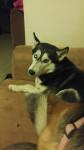 Jake - Alaskan Malamute (3 anni)