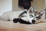 Luca - Alaskan Malamute Maschio (4 mesi)