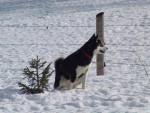 Foto Alaskan Malamute