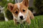 Lushe - Foxhound americano Maschio (8 mesi)