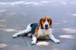 Foto Foxhound americano