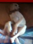 Molly - Foxhound americano (1 anno)