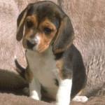 lea - Beagle-Harrier (3 mesi)