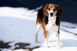 Foto Beagle-Harrier