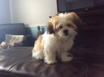 Pixie - Bichon Havanais (5 mesi)