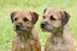Foto Border Terrier