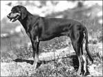 Brachet Autrichien Noir et Feu - Bracco austriaco
