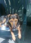 Lucky - Bracco tirolese Maschio (3 anni)