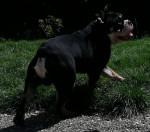 Godzilla - Bulldog Anglais exotique SHRINKABULLS - Bulldog inglese Maschio (1 anno 2 mesi)