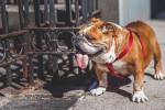 Foto Bulldog inglese