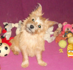 Heavy, Cairn terrier de 6 mois - Cairn Terrier (6 mesi)