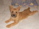 Heavy, Cairn terrier 6 mois - Cairn Terrier (6 mesi)