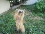 Heavy, Cairn Terrier 1 an - Cairn Terrier