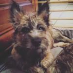 Mac (de Dame Nature) - Cairn Terrier Maschio (5 mesi)