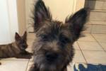Malia (de Dame Nature) - Cairn Terrier (5 mesi)