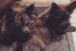 Malia & Mac - Cairn Terrier (5 mesi)