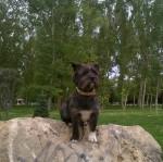 Fox - Cairn Terrier Maschio (3 anni)
