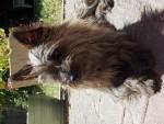 Malia - Cairn Terrier (1 anno)