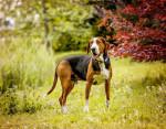 Foto Finnish hound