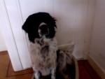 jimi - Stabyhoun Maschio (2 anni)
