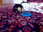 Jimi 1 - Stabyhoun Maschio (2 anni)