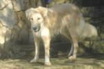 Henna, chien de l'Atlas ou Aïdi - Cane dell'Atlas