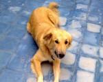 Henna, chien de l'Atlas - Cane dell'Atlas