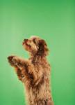 Foto Otterhound