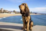 Foto Bloodhound