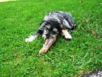 Bonnie - Dandie Dinmont Terrier (11 mesi)
