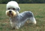 Dog - Dandie Dinmont Terrier Maschio (2 anni)