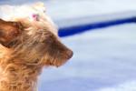 Foto Dandie Dinmont Terrier (16 anni)