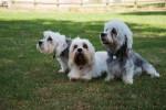 Foto Dandie Dinmont Terrier