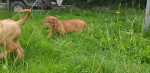 Nala - Dogo di Bordeaux Maschio (2 mesi)