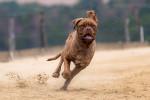 Foto Dogo di Bordeaux