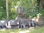 Perle - Dogo tedesco Maschio (3 anni 5 mesi)