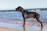 Foto Dogo tedesco
