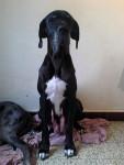 Osiris - Dogo tedesco (3 anni 4 mesi)