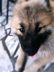 Maîkan - Eurasier Maschio (6 mesi)