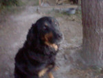 lady - Hovawart (9 anni)