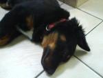 Dexter - Hovawart Maschio (4 mesi)
