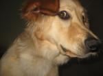 Edelweiss de la torterie - Hovawart (3 anni)