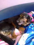 roxy - Hovawart (2 anni)