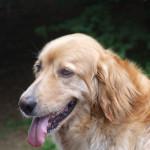 Gus - Hovawart Maschio (6 anni)