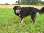 Hutch - Hovawart Maschio (12 anni)