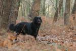 Urky, mon bel hovawart noir - Hovawart