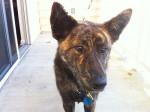 Nash - Kai dog Maschio (5 anni)