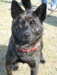 reno - Kai dog Maschio (16 anni)