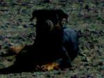 Rott KAISER - Kai dog