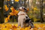 Un jeune Berger Australien sous les feuilles d'automne